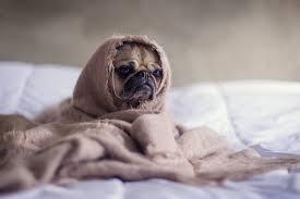 Köpeğiniz neden kusar ve bu kusmadan korkmalı mısınız?