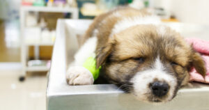 köpeklerde parvo virüs