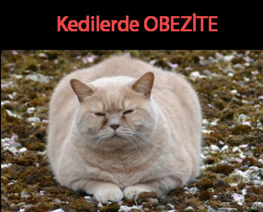 kedilerde obez olması şeker hastalıgına yakalanması yüksek